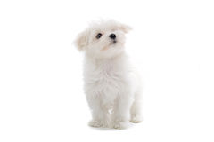 Maltese puppy dog. Isolated on a white background Stock Photos