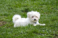 Maltese puppy - Maltese dog breed. Cute White Maltese puppy on green grass Stock Photos