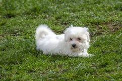 Maltese puppy - Maltese dog breed. White Maltese puppy sitting on grass Royalty Free Stock Photo