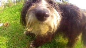 Maltese puppy dog stock video