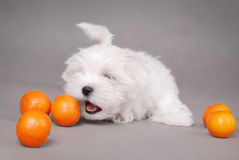 Maltese puppy dog with oranges. Cute Maltese puppy dog with ripe oranges, studio background Stock Image