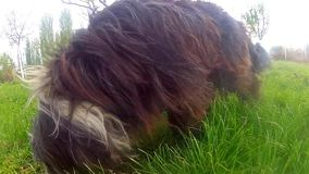 Maltese puppy dog play with camera stock video footage