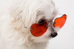 Maltese puppy. The maltese puppy dog on white background Stock Photo