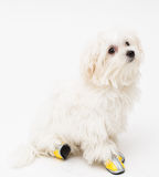 Maltese puppy. The maltese puppy dog on white background Royalty Free Stock Photos