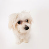 Maltese puppy. The maltese puppy dog on white background Royalty Free Stock Photo