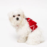 Maltese puppy. The maltese puppy dog on white background Royalty Free Stock Images