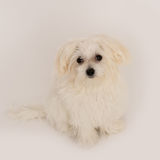 Maltese puppy. The maltese puppy dog on white background Royalty Free Stock Photography