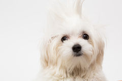 Maltese puppy. The maltese puppy dog on white background Royalty Free Stock Image