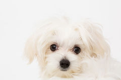 Maltese puppy. The maltese puppy dog on white background Stock Photos