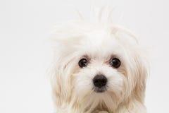 Maltese puppy Royalty Free Stock Photos