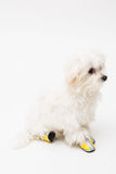Maltese puppy. The maltese puppy dog on white background Royalty Free Stock Image