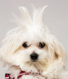 Maltese puppy. The maltese puppy dog on white background Stock Image