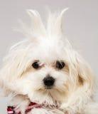 Maltese puppy. The maltese puppy dog on white background Stock Image