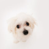 Maltese puppy. The maltese puppy dog on white background Stock Images