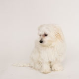 Maltese puppy. The maltese puppy dog on white background Stock Photography