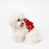 Maltese puppy Stock Photography