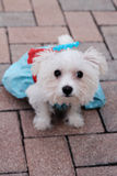Maltese puppy in dress on pavers. Image of Maltese puppy in dress on pavers Stock Photo