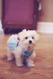 Maltese puppy in dress on wood floor vertical Royalty Free Stock Photography