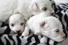 Maltese puppy gestreepte druk Royalty-vrije Stock Foto