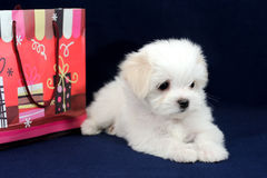 Maltese puppy with a gift bag. Portrait of cute Maltese puppy with a gift bag in blue background Stock Photography