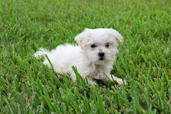 Maltese puppy in grass. Shot of a cute maltese puppy in grass Stock Photo