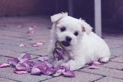 Maltese puppy rose petals pastel Stock Photo
