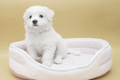 A Maltese puppy. On its sleeping basket with orange background Stock Image