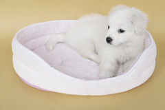 A Maltese puppy. On its sleeping basket with orange background Stock Photo