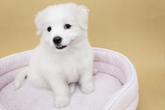 A Maltese puppy. On its sleeping basket with orange background Stock Images