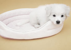 A Maltese puppy. On its sleeping basket with orange basket Royalty Free Stock Photo