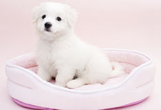 A Maltese puppy. On its sleeping basket with pink background Stock Photos