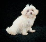 Maltese Puppy Stock Image