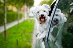 Maltese puppy looking out the car window Stock Images