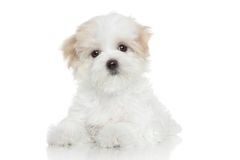 Maltese puppy. Lying on a white background Stock Image