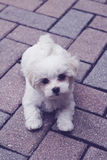 Maltese puppy on pavers vertical. Image of maltese puppy on pavers vertical Royalty Free Stock Photo