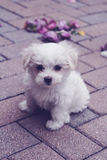 Maltese puppy on pavers vertical rose petals. Image of a maltese puppy on pavers vertical rose petals Stock Photography
