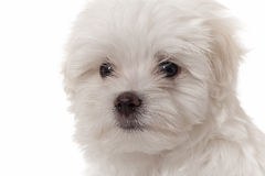 Maltese puppy portrait. Maltese puppy close up portrait on white Stock Photos