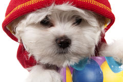 Maltese puppy portrait. Maltese puppy wearing red hat Stock Image