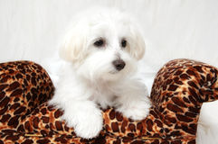 Maltese Puppy Portrait Royalty Free Stock Images
