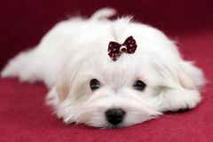 Maltese Puppy on Red Background. Portrait of a cute white long-haired Maltese girl on a red background. The puppy is 4 month old on the picture Stock Photos