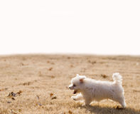 Maltese puppy running. Happy Maltese puppy running in the grass Stock Photos