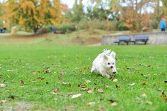 Maltese puppy running in the park on green . A little white Maltese dog standing next to the leaves Stock Photos