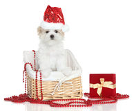 Maltese puppy in Santa red hat. Maltese puppy in basket. Christmas theme Royalty Free Stock Images