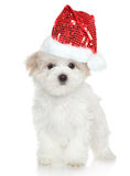 Maltese puppy in Santa red hat Stock Photography