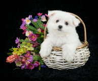 Maltese Puppy. Sitting in a white basket with spring flowers around her on a black background Royalty Free Stock Image