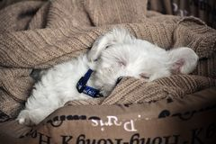 Maltese puppy sleeping in bed stock photography