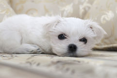 Maltese puppy on the sofa Stock Photography