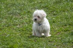 Maltese puppy standing on grass. White Maltese puppy standing on grass Royalty Free Stock Image