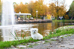 Maltese puppy standing next to the fountain. A little white Maltese dog standing next to the water Royalty Free Stock Image