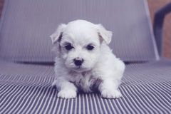 Maltese puppy on striped chair. Shot of a maltese puppy on striped chair Stock Image